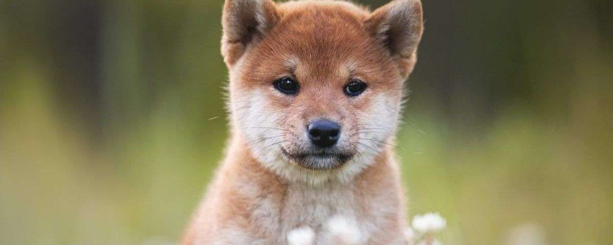 What caused the price of a Shiba Inu (SHIB) to skyrocket by 300 percent in the last week?